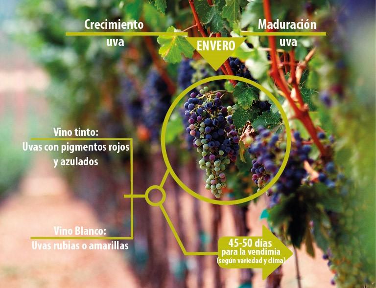 los tiempos de la uva