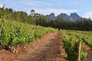 viñedo sudafricano