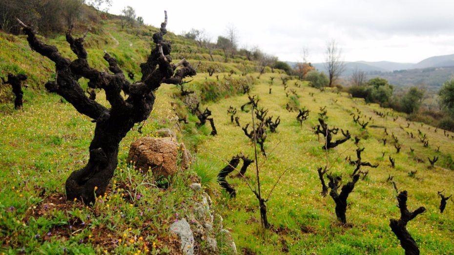 viñedos en la sierra de francia
