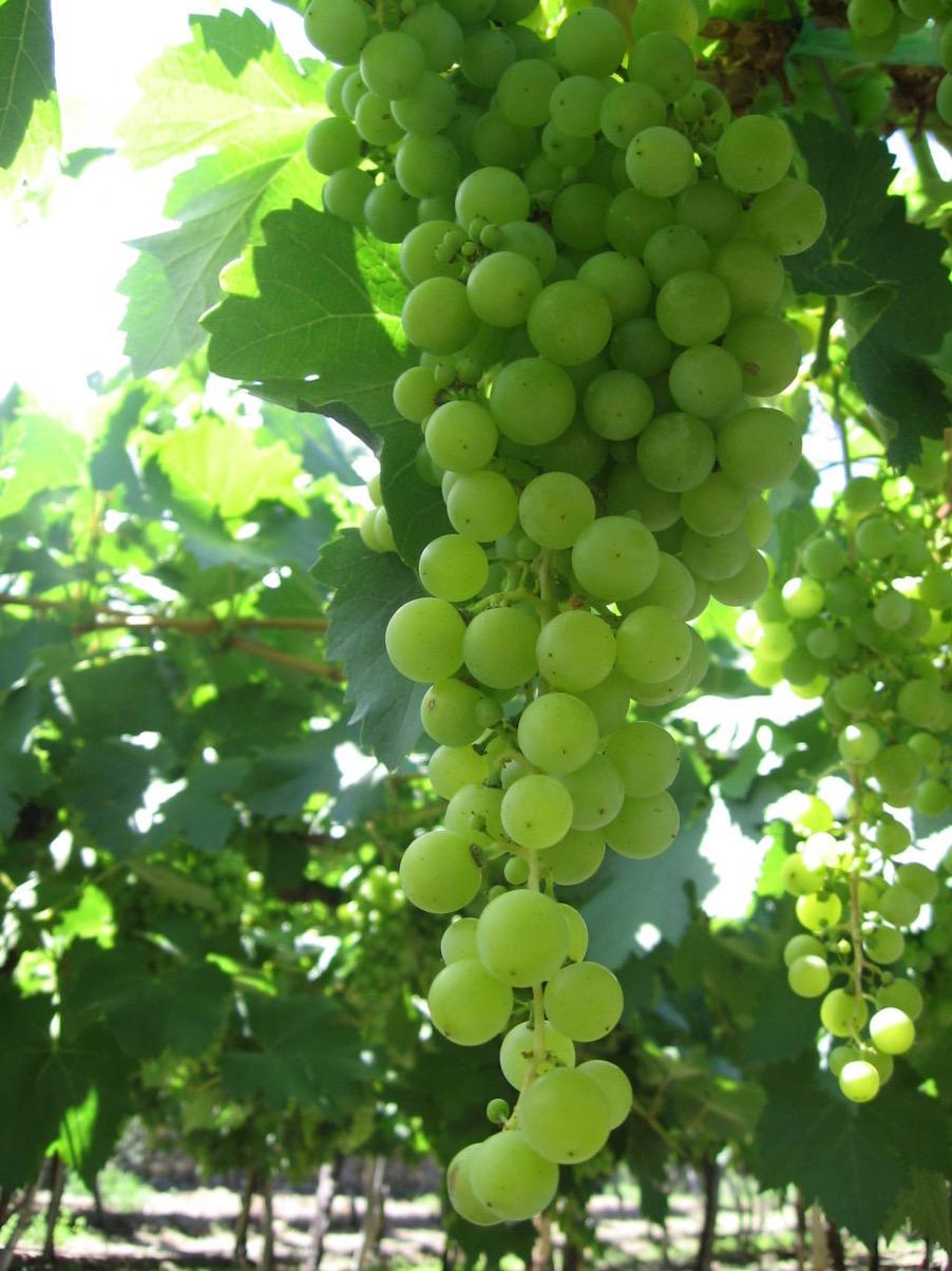 uva torrontés argentina