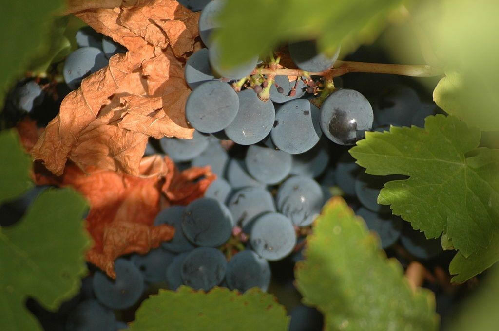 uva mencía
