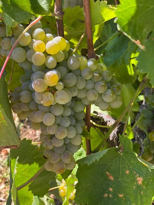 uva arinto de Bucelas