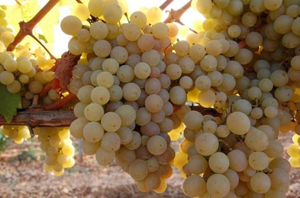uva greco bianca di Tufo