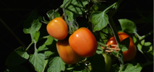 tomate saladet
