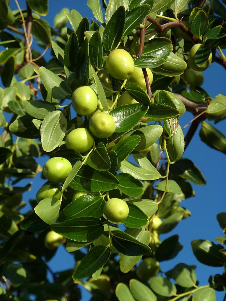 jujuba fruit