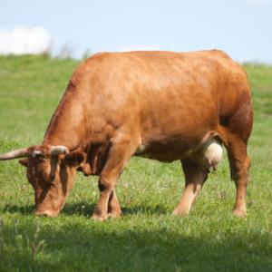 vaca rubia gallega