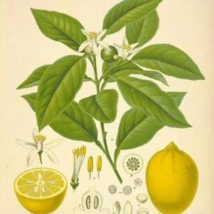 taxonomía do limón