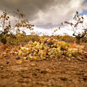 racimo de uva en el suelo
